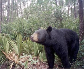 State wildlife officers tracking bears in NW Fla