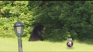Golden Gate bear sightings on the rise