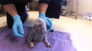 Injured eaglet's recovery going well