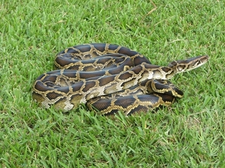102 pythons have been caught in Python Challenge