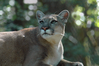 Florida panther killed by vehicle in Collier Co.