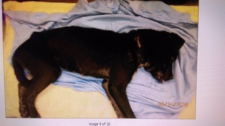 Dog in horrible condition; rope imbedded in neck
