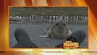 Virtual Video: Baby Seal