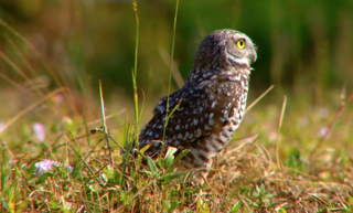 Cape Coral growth hurting burrowing owls