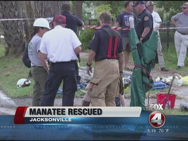 Manatee rescued from drainage pipe in Jacksonville