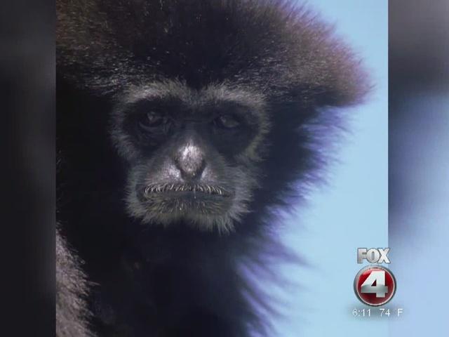 Naples Zoo Gibbon Found Dead