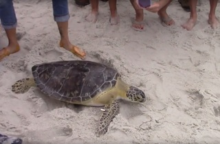2 sea turtles released into Gulf after recovery