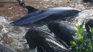 Mysterious stranding kills 81 dolphins