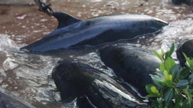 Nearly 100 dead false killer whales off Everglades National Park