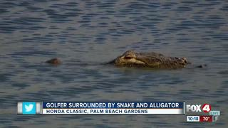 Snake and alligator near golfer in water hazard