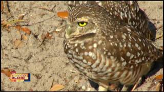 Burrowing Owl Festival 2/23/17
