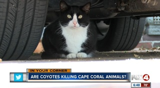 Cape woman says coyotes are killing her cats