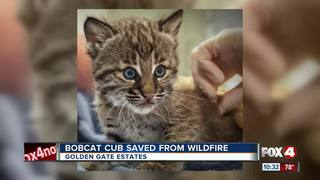 Bobcat kitten saved from Collier County fire