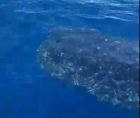 Fishermen spot whale shark off Lee County