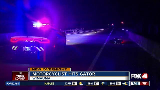 Motorcyclist thrown from bike after striking a 10-foot-long gator in Wimauma