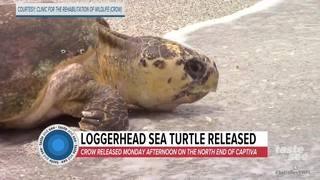 Loggerhead sea turtle released on Captiva