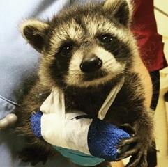 Injured Animal Looks Like Real Life Rocket Raccoon Fox 4
