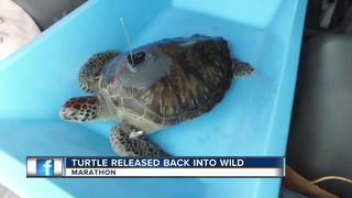 Rehabilitated green sea turtle released