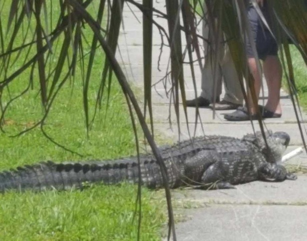 Alligator attack sends Port Charlotte man to the hospital