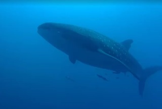Man swims with whale shark off Southwest Florida