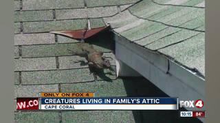Multiple Iguanas Not Monitor Lizards Living In Florida