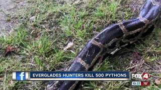 Hunters kill 500 Burmese Pythons in the...