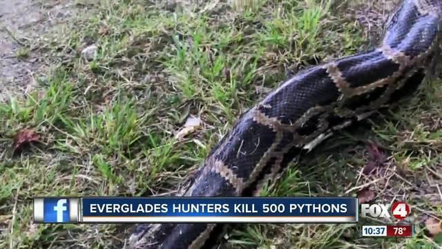 Hunters have killed 500 pythons