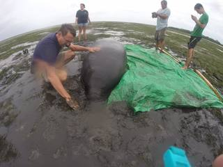 Manatees stranded by Hurricane Irma rescued