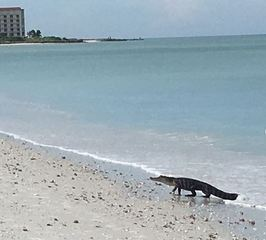 Gator seen swimming off Southwest Florida beach