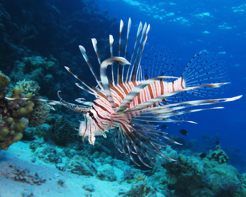 Growing lionfish population threatening to crowd out the native species in Florida waters - Fox 4 Now WFTX Fort Myers/Cape Coral