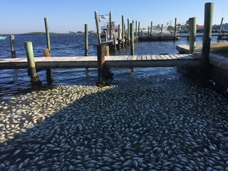 FWC: Matlacha fish kill due to red tide