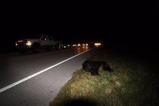 Driver hits bear in overnight crash
