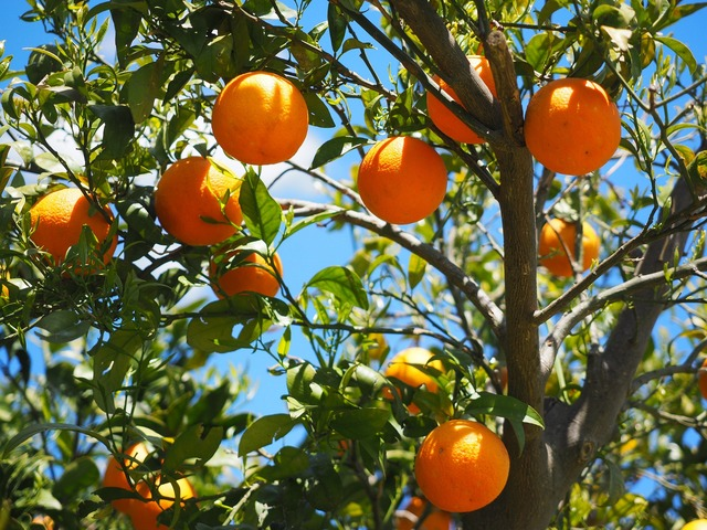 Florida citrus crop continues to plummet in the wake of Irma