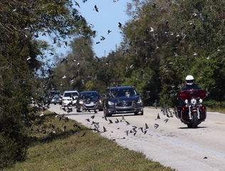 Small birds flying into cars in Cape Coral