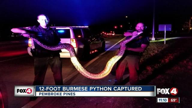 Officers wrangle 12-foot python while responding to call