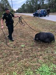 Deputies capture swine, searching for owner