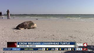 Loggerhead Sea Turtle released by CROW