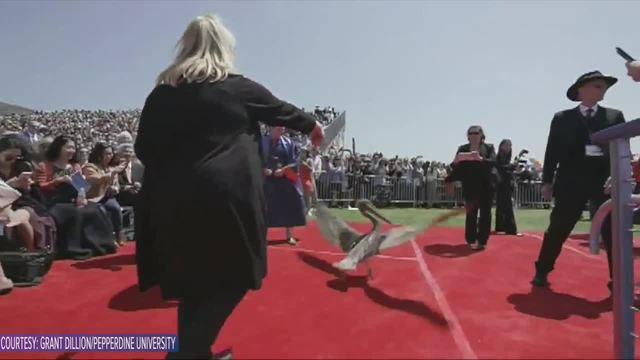 Two pelicans crash graduation ceremony in California
