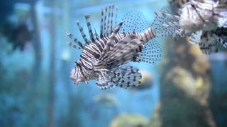 Lionfish population threatens native FL species