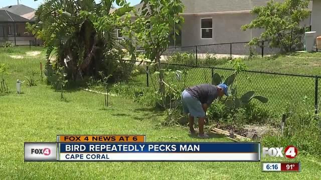 Bird pecks man while he gardens