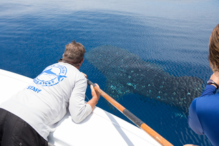 Two whale sharks tagged by scientists in Gulf