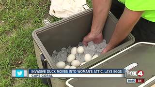 Invasive duck species lays eggs in attic