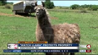 'Watch llama' protects Missouri ranch