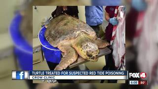Loggerhead recovering from suspected red tide