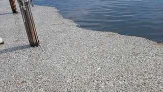 Photos: Dead fish accumulating in Naples