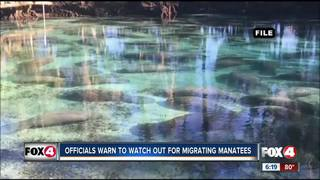 FWC: Watch out for migrating manatees