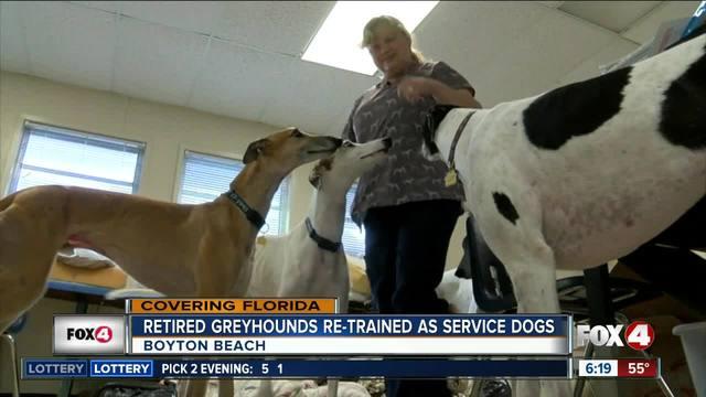 South Florida nonprofit retrains greyhounds for life after racing